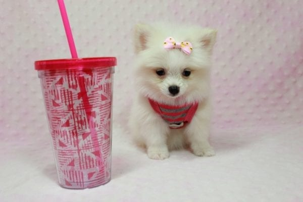 Kylie Jenner - Teacup Pomeranian Puppy in L.A Found A New Loving Home -0