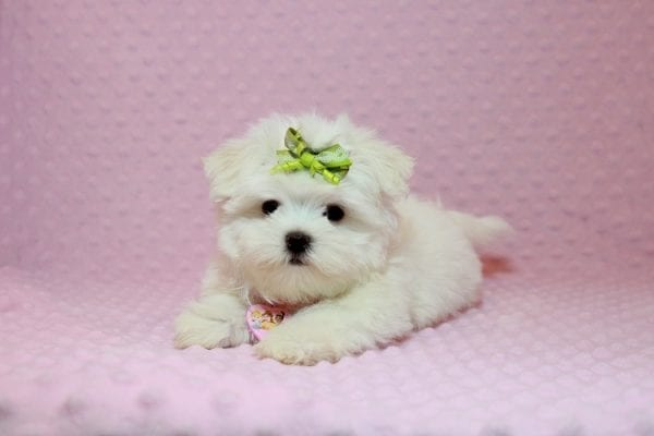 Lollipop - Teacup Maltese Puppy has found a good loving home with Joseph from Fort Mohave, AZ 86426-12563