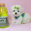 Lollipop - Teacup Maltese Puppy has found a good loving home with Joseph from Fort Mohave, AZ 86426-12597