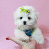Lollipop - Teacup Maltese Puppy has found a good loving home with Joseph from Fort Mohave, AZ 86426-12595