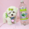 Lollipop - Teacup Maltese Puppy has found a good loving home with Joseph from Fort Mohave, AZ 86426-12598