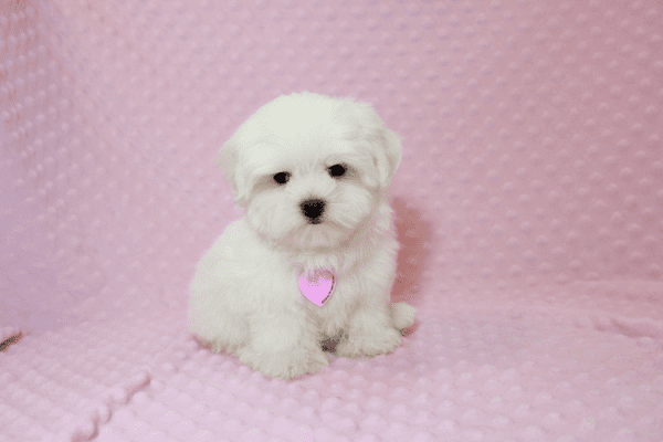 Lollipop - Teacup Maltese Puppy has found a good loving home with Joseph from Fort Mohave, AZ 86426-12592