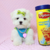 Lollipop - Teacup Maltese Puppy has found a good loving home with Joseph from Fort Mohave, AZ 86426-12596
