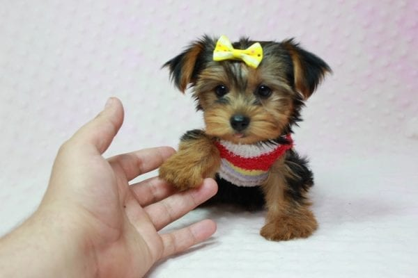 Love Of My Life - Teacup Yorkie Puppy In L.A Found A new Loving Home -12809