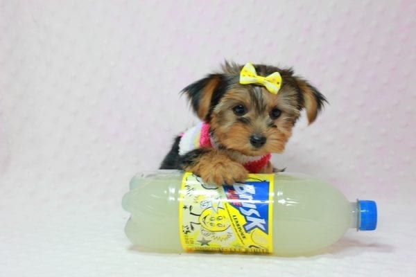 Love Of My Life - Teacup Yorkie Puppy In L.A Found A new Loving Home -12811