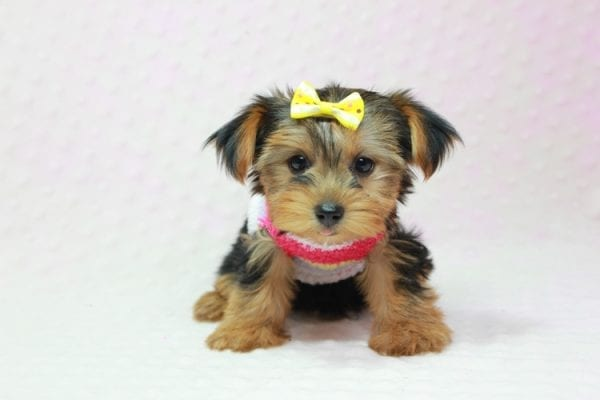 Love Of My Life - Teacup Yorkie Puppy In L.A Found A new Loving Home -12810