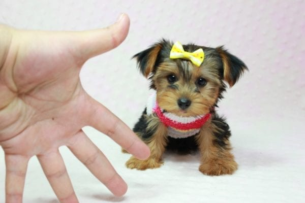 Love Of My Life - Teacup Yorkie Puppy In Los Angeles