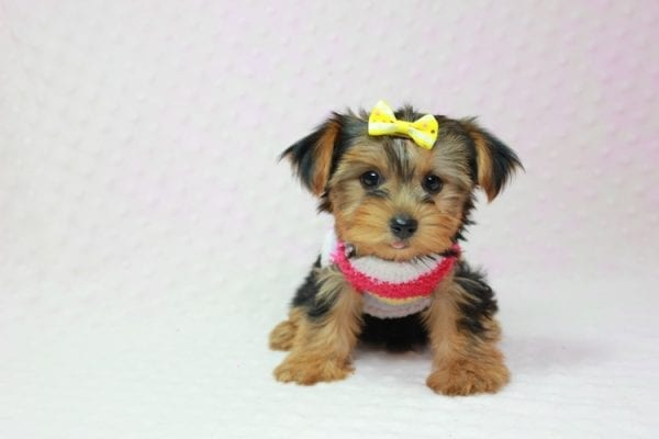 Love Of My Life - Teacup Yorkie Puppy In L.A Found A new Loving Home -12806