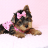 Macy - Yorkie Puppy Has Found A Loving Home With Mike in Las Vegas, NV!-12625