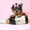 Macy - Yorkie Puppy Has Found A Loving Home With Mike in Las Vegas, NV!-12630