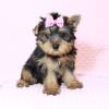 Macy - Yorkie Puppy Has Found A Loving Home With Mike in Las Vegas, NV!-12628