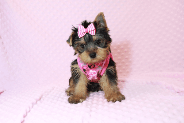 Macy - Yorkie Puppy Has Found A Loving Home With Mike in Las Vegas, NV!-12629