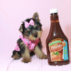Macy - Yorkie Puppy Has Found A Loving Home With Mike in Las Vegas, NV!-0