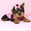Macy - Yorkie Puppy Has Found A Loving Home With Mike in Las Vegas, NV!-12627