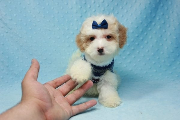 Marshall - Teacup Maltipoo Puppy In L.A Found A New Loving Home-12468