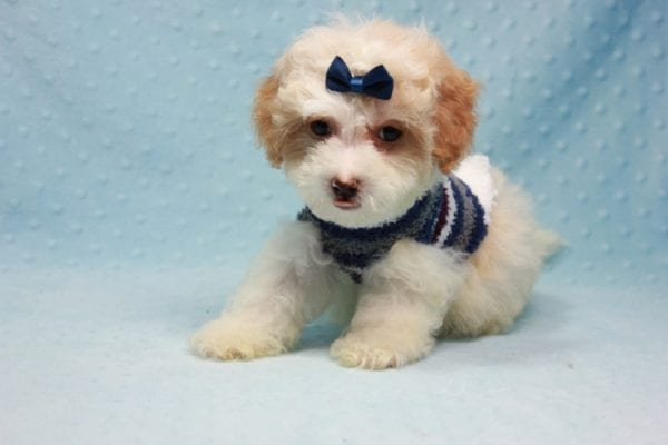 Marshall - Teacup Maltipoo Puppy In L.A Found A New Loving Home-12473