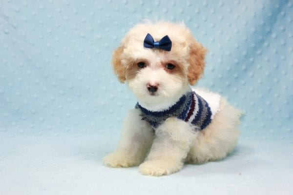 Marshall - Teacup Maltipoo Puppy In L.A Found A New Loving Home-12474