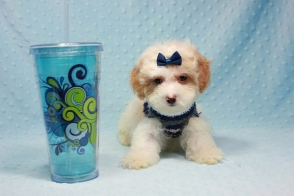 Marshall - Teacup Maltipoo Puppy In L.A Found A New Loving Home-12476