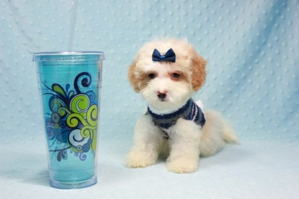 Marshall - Teacup Maltipoo Puppy In L.A Found A New Loving Home-0