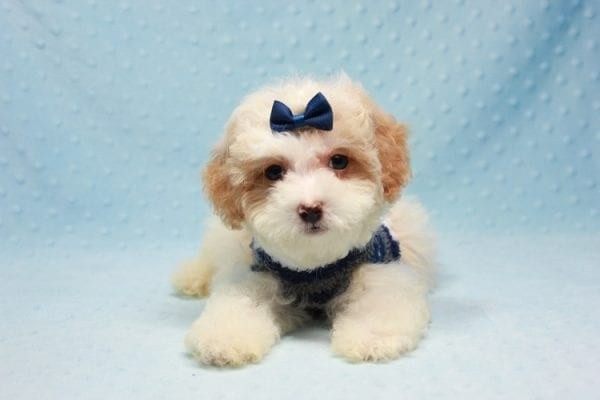 Marshall - Teacup Maltipoo Puppy In L.A Found A New Loving Home-12475