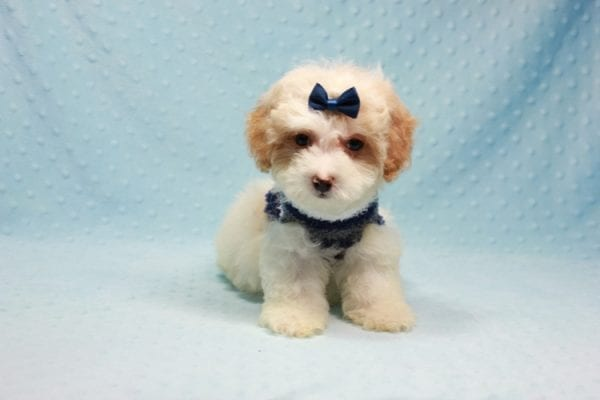 Marshall - Teacup Maltipoo Puppy In L.A Found A New Loving Home-12471
