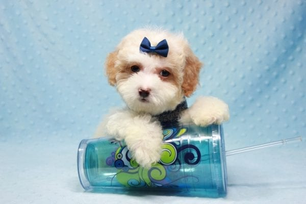 Marshall - Teacup Maltipoo Puppy In L.A Found A New Loving Home-12469