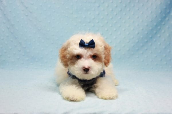 Marshall - Teacup Maltipoo Puppy In L.A Found A New Loving Home-12479