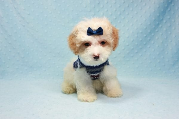 Marshall - Teacup Maltipoo Puppy In L.A Found A New Loving Home-12472