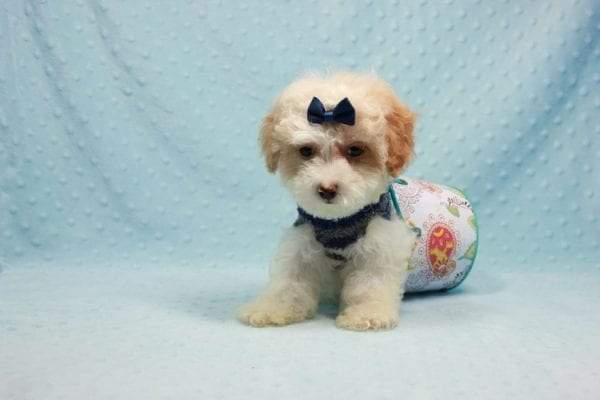 Marshall - Teacup Maltipoo Puppy In L.A Found A New Loving Home-12470