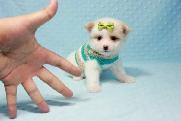 Mcdonald - Teacup Pomtese Puppy in L.A Found A New Loving Home With Andrew From Pacific Palisades Ca-0