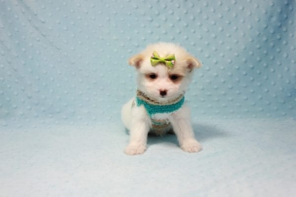 Mcdonald - Teacup Pomtese Puppy in L.A Found A New Loving Home With Andrew From Pacific Palisades Ca-12481