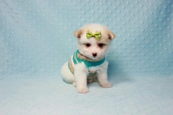 Mcdonald - Teacup Pomtese Puppy in L.A Found A New Loving Home With Andrew From Pacific Palisades Ca-12491