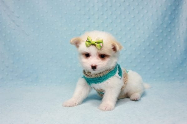 Mcdonald - Teacup Pomtese Puppy in L.A Found A New Loving Home With Andrew From Pacific Palisades Ca-12489