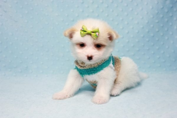 Mcdonald - Teacup Pomtese Puppy in L.A Found A New Loving Home With Andrew From Pacific Palisades Ca-12485