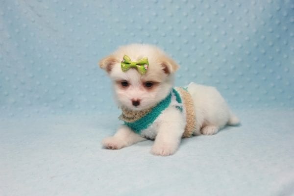 Mcdonald - Teacup Pomtese Puppy in L.A Found A New Loving Home With Andrew From Pacific Palisades Ca-12488