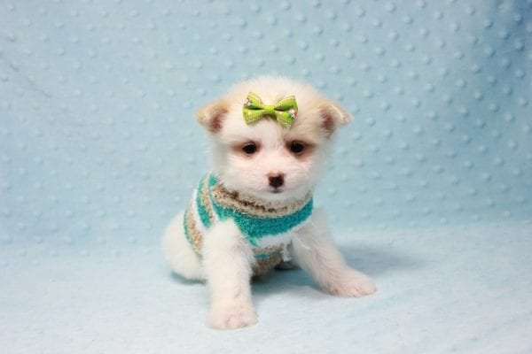 Mcdonald - Teacup Pomtese Puppy in L.A Found A New Loving Home With Andrew From Pacific Palisades Ca-12492