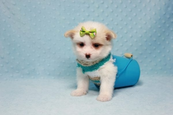 Mcdonald - Teacup Pomtese Puppy in L.A Found A New Loving Home With Andrew From Pacific Palisades Ca-12490