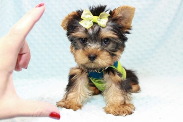 Oliver - Teacup Yorkie Puppy has found a good loving home with Judith from Las Vegas, NV 89109-12796