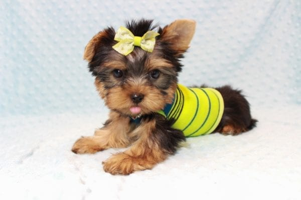 Oliver - Teacup Yorkie Puppy has found a good loving home with Judith from Las Vegas, NV 89109-12789