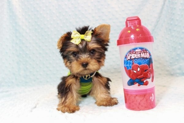 Oliver - Teacup Yorkie Puppy has found a good loving home with Judith from Las Vegas, NV 89109-12791