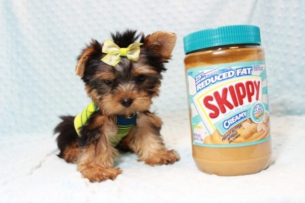 Oliver - Teacup Yorkie Puppy has found a good loving home with Judith from Las Vegas, NV 89109-12797