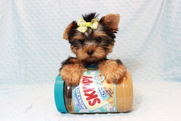 Oliver - Teacup Yorkie Puppy has found a good loving home with Judith from Las Vegas, NV 89109-12793
