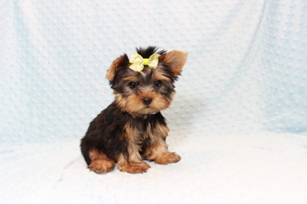 Oliver - Teacup Yorkie Puppy has found a good loving home with Judith from Las Vegas, NV 89109-12790