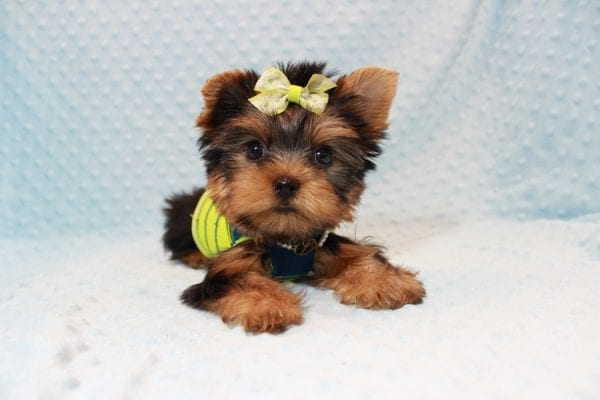 Oliver - Teacup Yorkie Puppy has found a good loving home with Judith from Las Vegas, NV 89109-12798