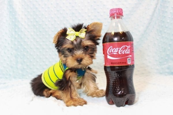 Oliver - Teacup Yorkie Puppy has found a good loving home with Judith from Las Vegas, NV 89109-12792