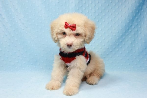 Pups - Toy Maltipoo Puppy found his loving home with Jean in Bakersville, CA-12507