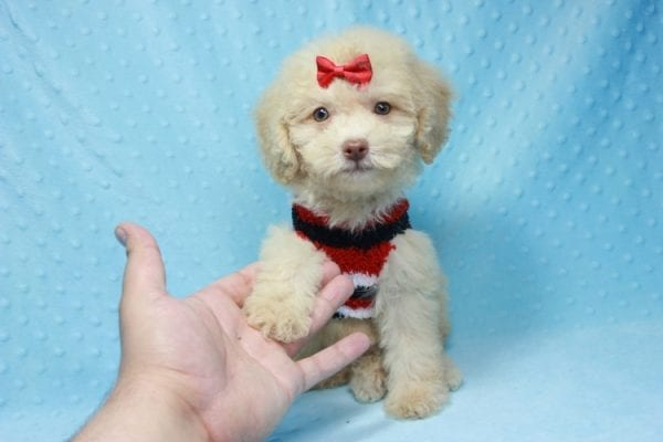 Pups - Toy Maltipoo Puppy found his loving home with Jean in Bakersville, CA-12503