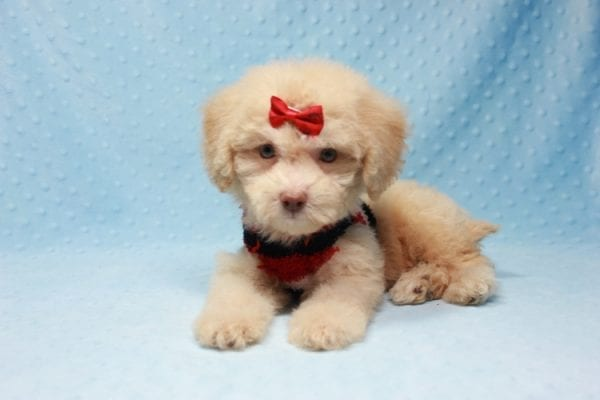 Pups - Toy Maltipoo Puppy found his loving home with Jean in Bakersville, CA-12506