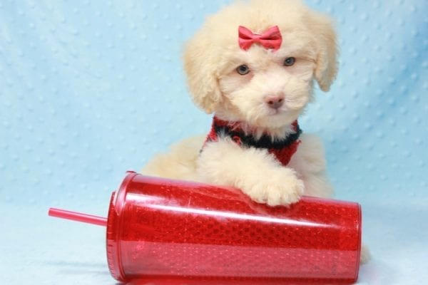 Pups - Toy Maltipoo Puppy found his loving home with Jean in Bakersville, CA-0