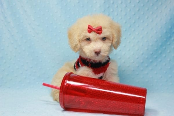 Pups - Toy Maltipoo Puppy found his loving home with Jean in Bakersville, CA-12505
